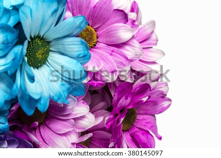 chrysanthemums isolated on a white