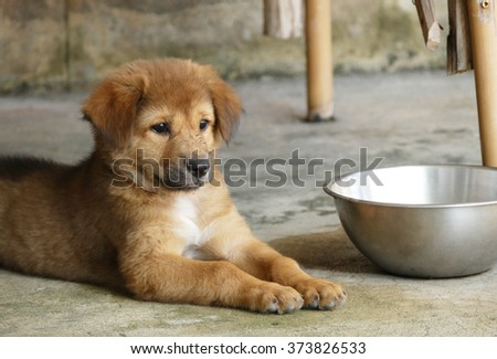 Most Inspiring Color Chubby Adorable Dog - stock-photo-chubby-brown-puppy-dog-lying-next-to-water-bowl-373826533  Picture_532674  .jpg