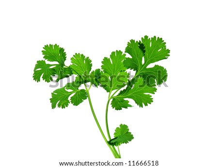 Cilantro coriander isolate on white background