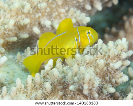 Citron coral goby in red sea