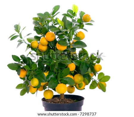 orange citrus fortunella tree italian style stock photo 83426575 shutterstock. Black Bedroom Furniture Sets. Home Design Ideas