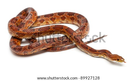 Classical Corn Snake or Red Rat Snake, Pantherophis guttatus, in front of white background