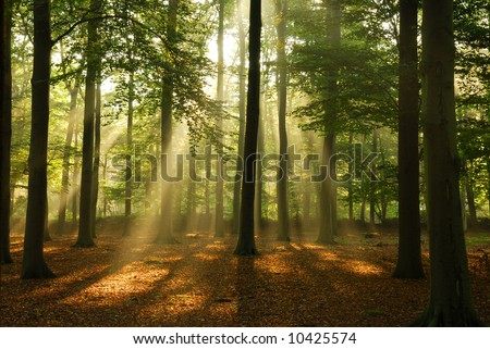 Clear rays of light shining through the forest in early morning.