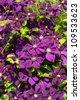 Climbing vine of purple clematis flowers - stock photo