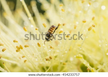 Close up bee on yellow pollen of flower and water drop.