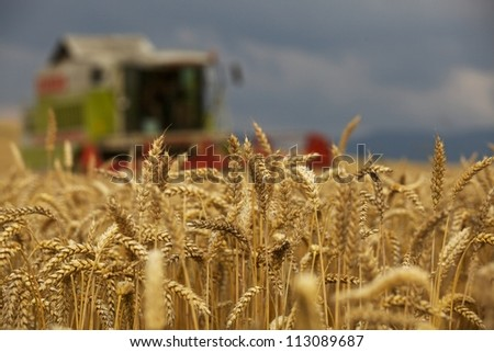 Close-up ears of wheat at field and harvesting machine on background. Combine out of focus.