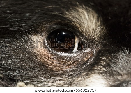 Close up eye of a Pomeranian