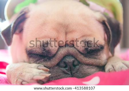 Close up face of Cute pug puppy dog sleeping rest on bed with snot of cold