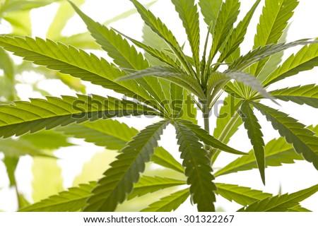 how to keep marijuana leaves fresh