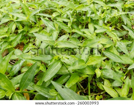 Close up fresh green grasses weed on ground