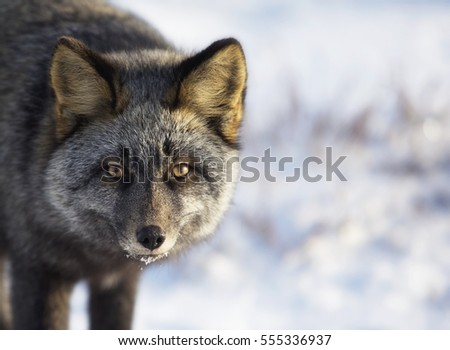 Close up, head and shoulders image of a silver fox in the wild.  Churchill, Manitoba, Canada.