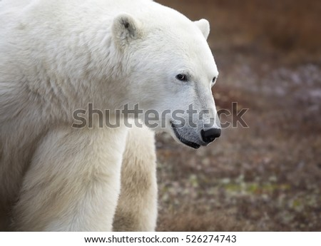 Close up image of a polar bear, with a mischievous look in his eye.  Churchill, Manitoba, Canada.