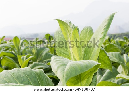 Close up Nicotiana tabacum, the Common tobacco is an annually-growing herbaceous plant