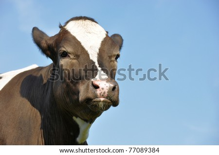 Close-up of a beautiful young cow against a blue sky