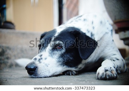 close up of a black and white dalmatian dog no purebred laying on the gray color concrete garage floor outdoor under direct natural sunlight lin summer