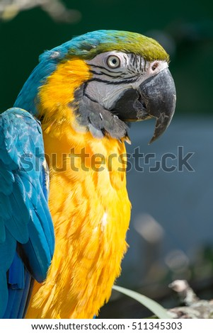 Close up of a blue and yellow Hyacinth Macaw.