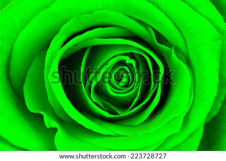 Close-up of a bright green rose, isolated