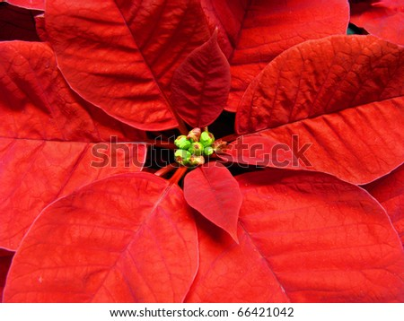 Close up of a Christmas poinsettia flower