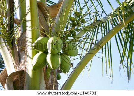 Close-up of a coconut tree in Mazatlan, Mexico