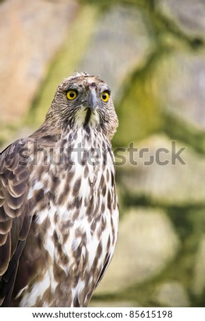 Close up of a Crested/Changeable Hawk eagle