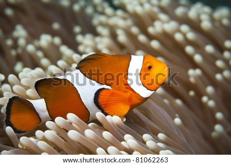 Close-up of a False-Clown Anemonefish (Amphiprion ocellaris)  at Bali, Indonesia