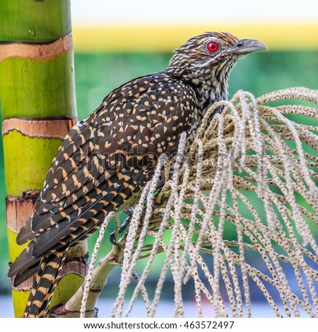 Close up of a female Common Asian Koel, perched on a branch of bare palm berry stalks.