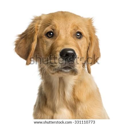 how to tell if a dog is purebred golden retriever