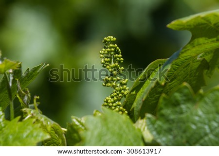 close up of a group of young grapes in spring in California