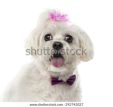 Close-up of a Maltese in front of a white background
