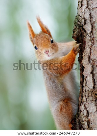 Close-up of a Red squirrel.