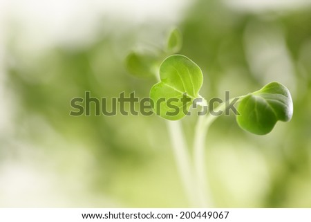 Close-up of a spicy, healthy daikon radish sprout