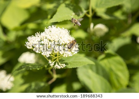 close up of a white flower with two bees.