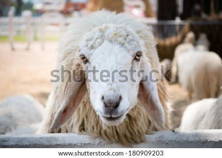 Close up of a white sheep in sheep farm