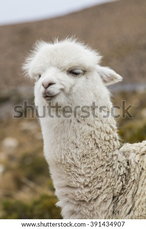 Close-up of an alpaca