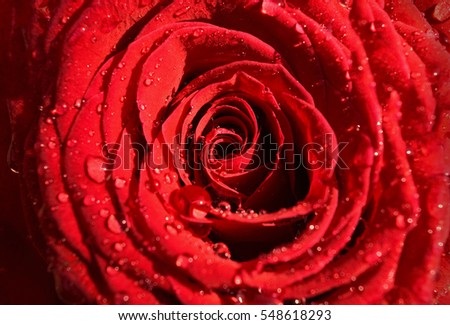 Close up of an intense red rose sprinkled with rain drops