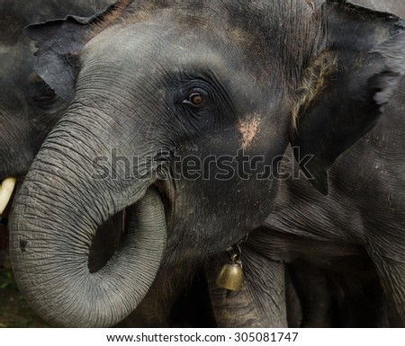 Close up of asian young domestic  elephant put trunk in her mouth.