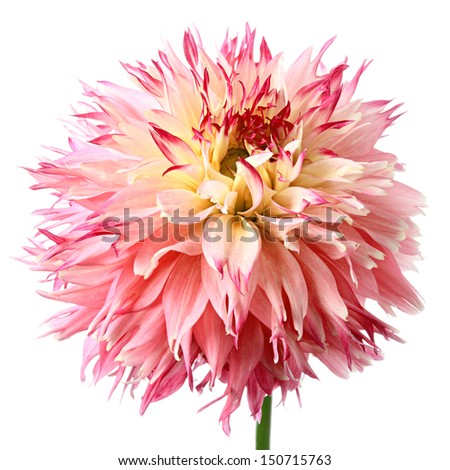 Close-up of beautiful red dahlia isolated on a white background