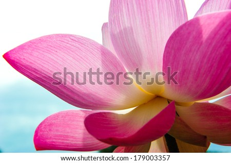 Close-up of blossom pink lotus flowers