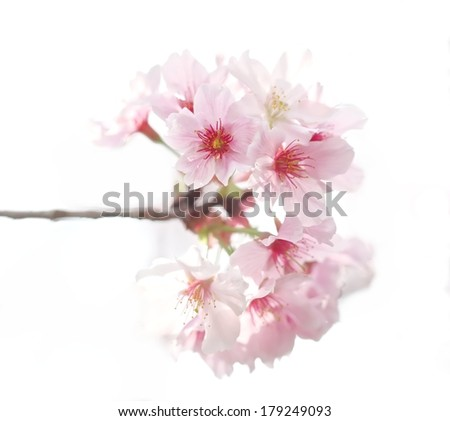 Close up of cherry blossoms in full bloom with white background.