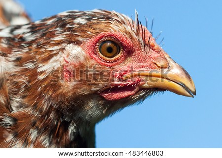 Close up of chicken head.