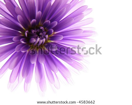 Close-up of colourful purple and pink asters on white background