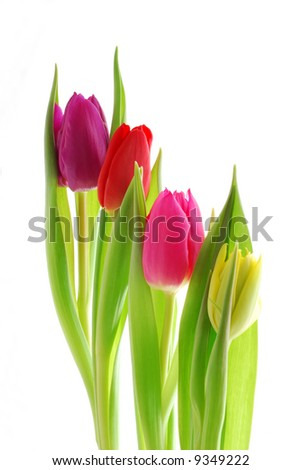 Close-up of colourful spring tulips against white background