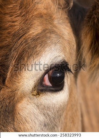 close up of cow face,derbyshire,uk