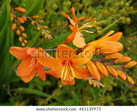 close-up of Crocosmia - Mombretia