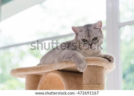 Close Cute Tabby Persian Cat Sitting Stock Photo 472691149 ... Tabby Cat Sitting Up