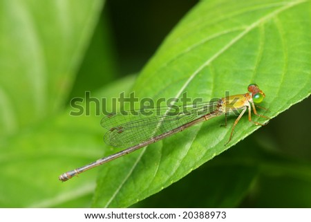 Close up of damselfly stop and resting on green leaf.