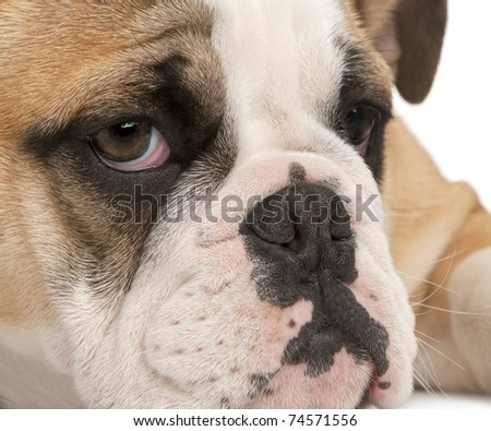 Close-up of English bulldog puppy, 4 months old, in front of white background