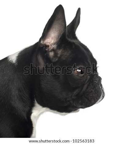 Close up of French Bulldog, 13 months old, in front of white background