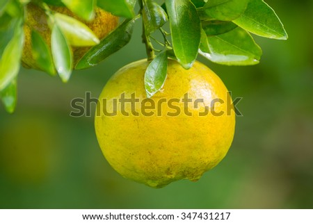close up of fresh orange on tree with waterdrop
