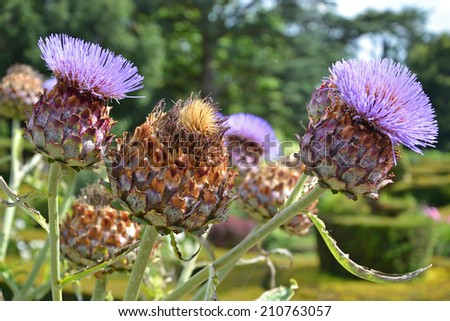 close up of giant thistles with blurred background; thistles are the floral emblem of Scotland